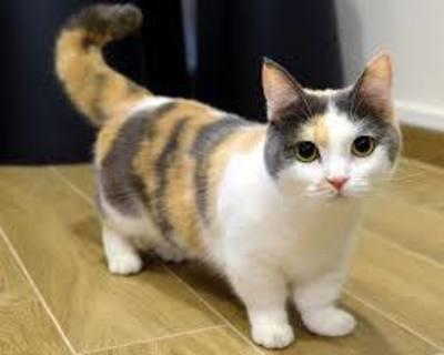 why are munchkin cats so expensive