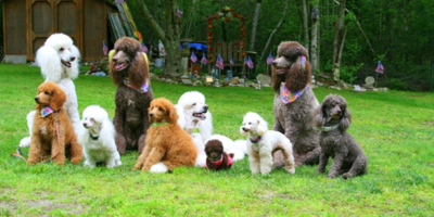 All About Poodles Nova Pets Health Center